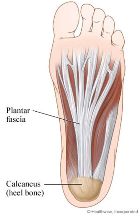 Planter Facia by Sports Injuries Explained Should Albert Pujols Foot