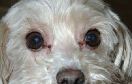 shih tzu tear stain remedies tear stain home and the counter remedies