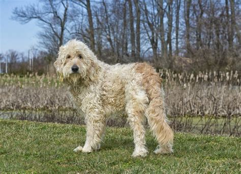 goldendoodle puppy traits goldendoodle breed information buying advice photos