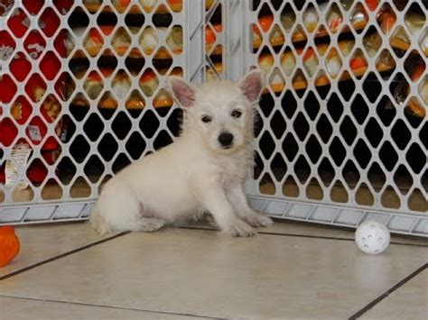 westie puppies for sale nc west highland white terrier westie puppies dogs for sale in raleigh