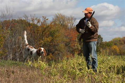 setter gun dog breed profile the llewellin setter gun dog magazine