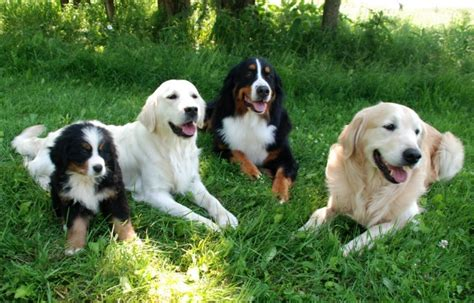 golden retriever varieties growth chart great pyrenees bernese mountain great bernese breeds picture