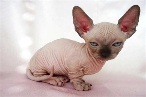 Worlds Smallest Cat Breed   www.pixshark.com   Images