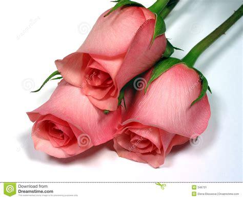 imagenes de rosas matizadas significado de las rosas lumiluz