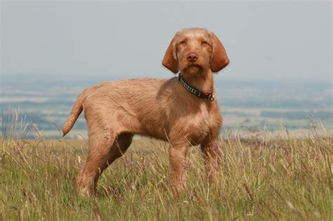 hungarian setter dog pin hungarian vizsla wire haired irish red white setter on