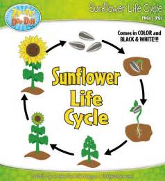 items similar to sunflower life cycle clipart set