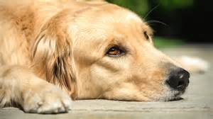 golden retriever benefits 301 moved permanently
