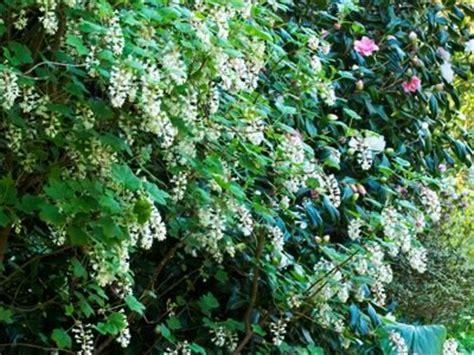 flowering shrubs for shaded areas shrubs hgtv