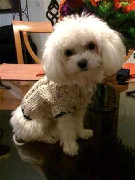 shih tzu chatter two 1000 images about barkley shih tzu hair cuts on shih tzu haircuts and