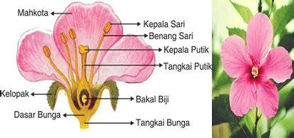 tentang bunga kembang sepatu  bagian bagiannya