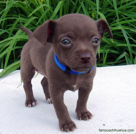 haired chihuahua puppy bulldog puppies hercules haired chihuahua puppyfamous chihuahua