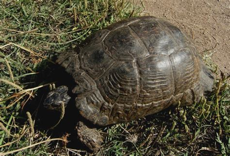 lade per tartarughe di terra tartarughe di sardegna forum natura mediterraneo forum