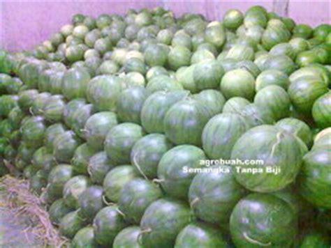 Benih Semangka Inul Kuning budidaya tanaman semangka