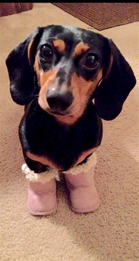 puppy boot c near me best 25 weiner dogs ideas on baby weiner dogs weiner pictures and wiener