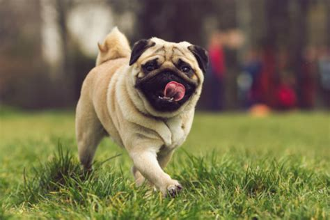pug characteristics 10 things only a pug owner would understand american kennel club