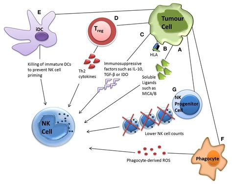 frontiers tumor altered dendritic cell frontiers tumor primed nk cells waiting for the green