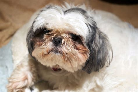 shih tzu tears my has crusty petcha