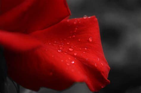simboli fiori fiori simbolo d non possono mancare a san valentino