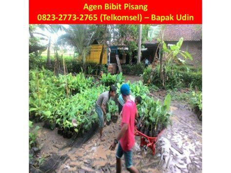 Jual Bibit Pisang Cavendish Palembang 0823 2773 2765 telkomsel bibit pisang cavendish lung