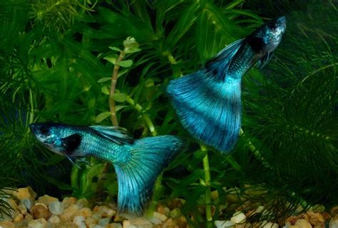 Guppy Blue Moscow Promo moscow blue guppies wow i these colorful