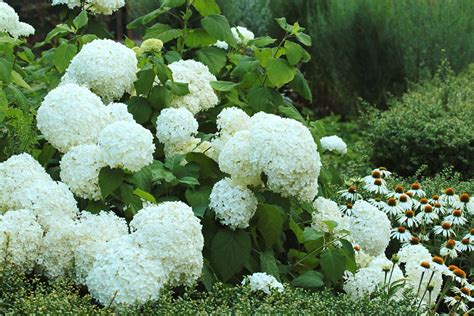 16 plants with big flowers