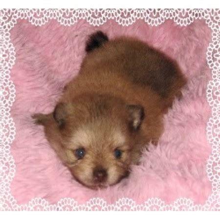 puppies for sale brandon fl poofy poochies pomeranian breeder in brandon florida