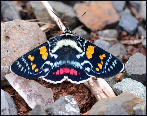 colorful moths colorful moth queensland australia range n p by
