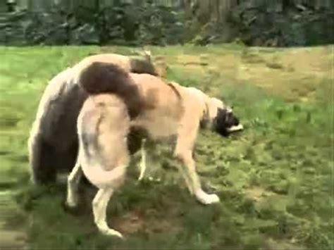 turkish kangal puppies turkish kangal fighting with popscreen