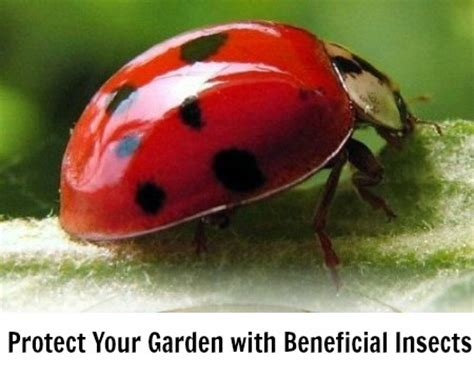 where to find ladybugs in your backyard protect your garden with beneficial insects one hundred