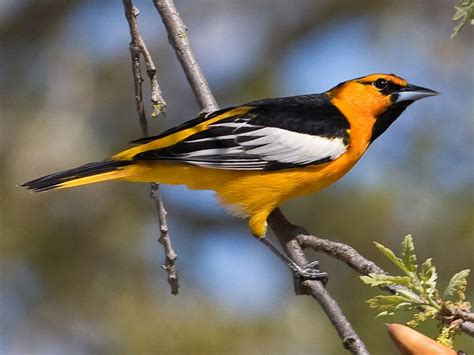 birds of the world orioles