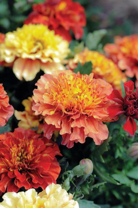 marigold strawberry blonde web  english garden