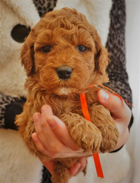 goldendoodle puppy allergies 151 best i mini goldendoodles images on pets