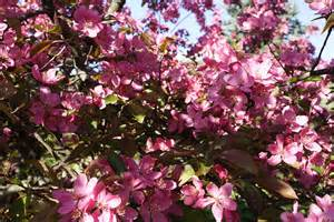 tree with pink flowers pink tree flowers flowers free nature pictures by forestwander nature photography