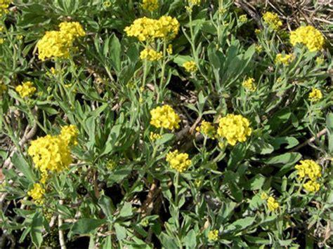 plant d alysse jardinerie taberner fleurs pr 232 s de salon