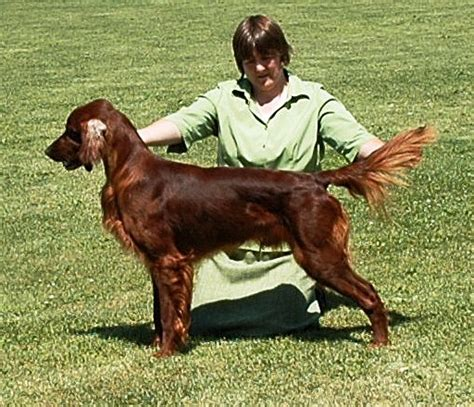 norwegian setter dog russell irish setters our males