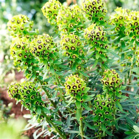 euphorbia plant black pearl dobies
