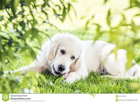 golden retriever garden golden retriever in garden royalty free stock photo image 31312165