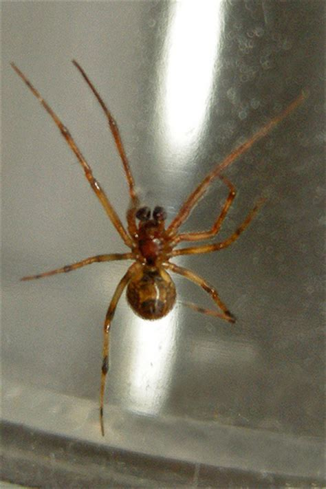 common house spiders in pa common house spider parasteatoda tepidariosum flickr photo sharing
