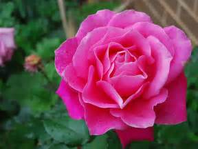 pink roses yellow wallpaper pink roses