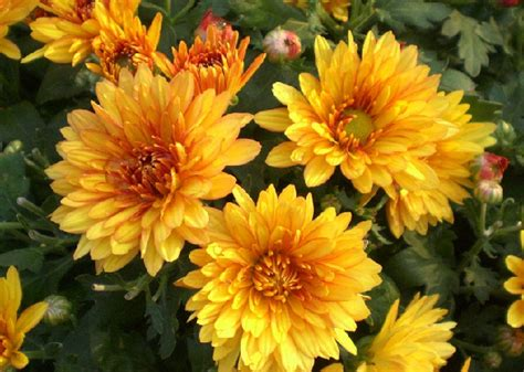 Benih Bunga Forget Me Not Indigo Isi 10 Biji bibit yellow chrysanthemum