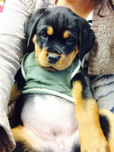 rottweiler puppies omaha the 25 best rottweiler puppies ideas on puppy breeds rottweiler and