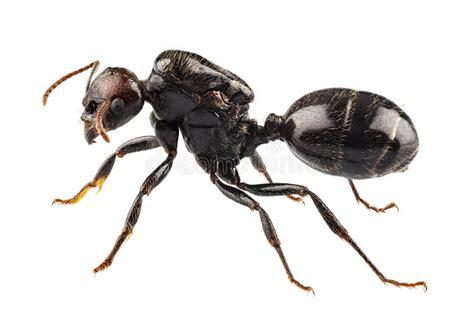 imagenes hormigas negras especie negra lasius niger de la hormiga del jard 237 n foto