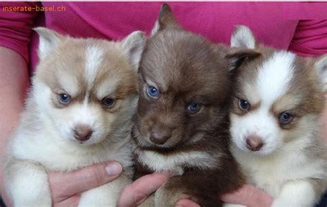 welpen suchen ein zuhause inserate basel anzeigen hunde pomsky welpen suchen ein