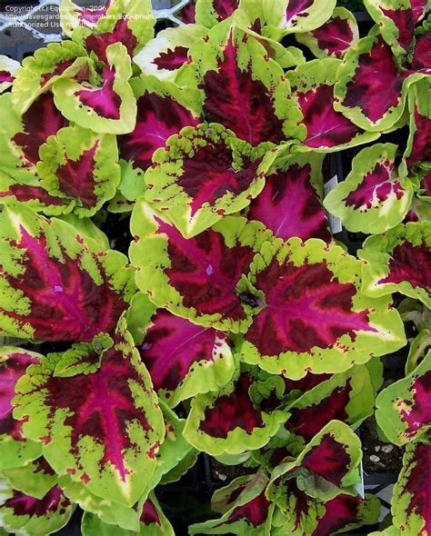 plantfiles pictures coleus flame nettle painted nettle kong rose solenostemon