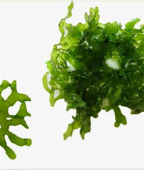 Tanaman Aquascape Moss tanaman aquascape agar moss pelia timika jual tanaman