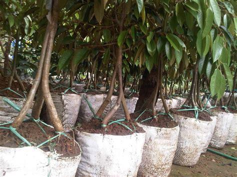 Bibit Durian Petruk Kaki 3 durian musang king kaki tiga belibibit
