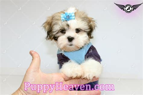 white teacup shih tzu puppies echo teacup shih tzu puppy breeders in los angeles ca