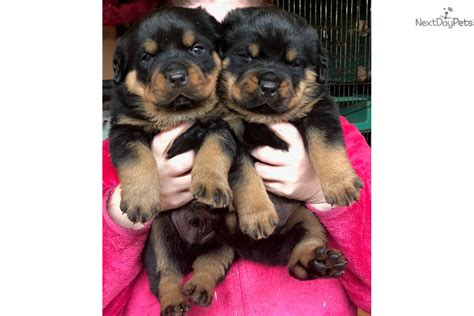 rottweiler puppies for sale in detroit rottweiler puppy for sale near detroit metro michigan 9c1a15f4 1f41