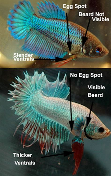 vs non fish how to determine betta gender introduction