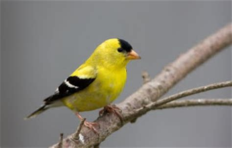 mother nature s bird feeding news how to attract gold